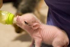 Newborn piggy!