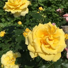 Did you know? Yellow roses are traditionally the perfect way to communicate friendship and wish well-being.