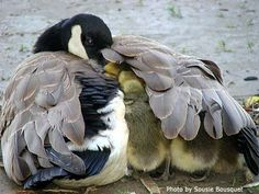 It's heartwarming to see motherly instincts in action in the big wild. Here's a Canada Goose and its hatch-lings.