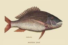 Mutton Fish