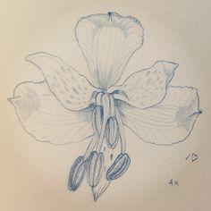 Alstroemeria revoluta 4x #chileanflora #botanicalart