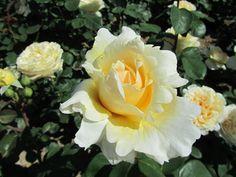 Longwood Gardens 2013 June 2 Yellow Roses