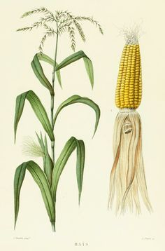 Corn French Antique Botanical Print