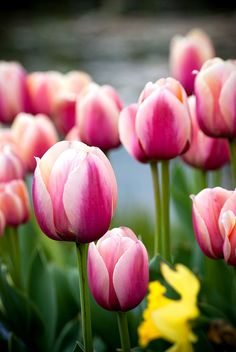 Tulips - Pink is not my favourite colour. I like the strong colours - red, yellow, orange, purple
