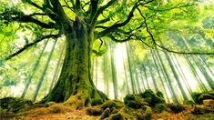 Ponthus Beech tree in Brocéliande Forest. Bretagne, France - 39 Awesome Nature Photos Of Incredible Places Beautiful World, Beautiful Places, Beautiful Pictures, Beautiful Forest, Amazing Places, Beautiful Sunset, Mother Earth, Mother Nature, Tree Wall Murals