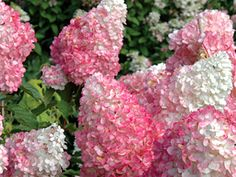 Vanilla strawberry hydrangeas, possibly the most beautiful hydrangea I have ever seen.  Not sure it will grow in Florida though.