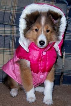 Sheltie pup with a New winter jacket