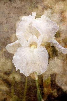 white iris - tanya felsheim