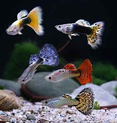Types of Guppies - The guppy (Poecilia reticulata), also known as millionfish and rainbow fish, is one of the world's most widely distributed tropical fish, and one of the most popular freshwater aquarium fish species. #TropicalFishAquariumIdeas