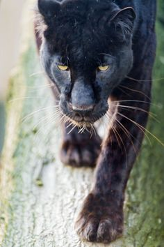 Black panthers in south Mississippi??? Yes, I have seen them twice in broad daylight, UP CLOSE, with just a screen door between us!!!