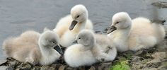 5 day old cygnets