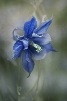 Blue Columbine by Mandy Disher I love this flower! And yet we can't forget Columbine.