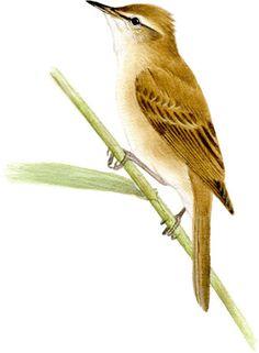 オオヨシキリ|日本の鳥百科|サントリーの愛鳥活動