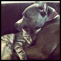 Ces 11 pitbulls aiment les chats plus que vous… Et ils vont vous faire fondre !