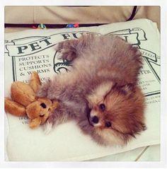 Cute Pomeranian Puppy with his Leg-less Teddy Bear Toy