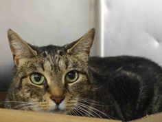 MANHATTAN CENTER  PUMA – A1072097  FEMALE, BRN TABBY, DOMESTIC SH MIX,8 yrs OWNER SUR – ONHOLDHERE, HOLD FOR HOSPITAL Reason OWNER HOSP Intake condition UNSPECIFIE Intake Date 05/01/2016, From NY 10012, DueOut Date 05/09/2016, I came in with Group/Litter #K16-055608.  Medical Behavior Evaluation GREEN Medical Summary Intact female Scan negative for a microchip 8 years old according to the owner Eyes are clear Nose= No discharge Ears are clean Teeth are intact and stainned Coat is clean Not…