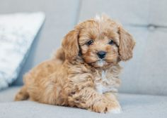 Buster - The Cavoodle