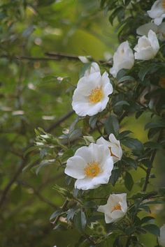 The Cherokee rose is the state flower of Georgia Beautiful Roses, Wild Flowers, Beautiful Flowers, Kentucky State Flower, Georgia Flower, Rose Reference, Cherokee Rose, Trail Of Tears, Botanical Flowers