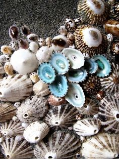 Limpet shells - part of the reason we LOVE the brown & blue combo! Jewel Of The Seas, Shell Collection, Shell Beach, Shell Art, Ocean Life, Sea Creatures, Under The Sea, Starfish, Sea Glass