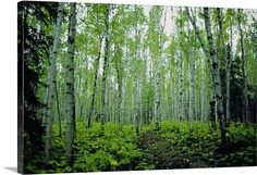 Low angle view of birch trees in a forest, Minnesota, USAfrom Great Big Canvas.com