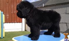 Newfypoo.  This has gotta be our next dog but for now three dogs is enough.