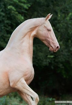 this is a very rare breed Akhal-Teke