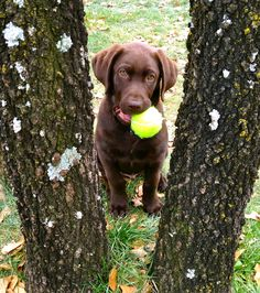 My chocolate lab puppy #Tucker