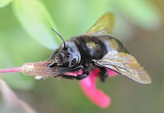 Placer Nature Center's Blog: All the buzz about native bees