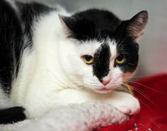 Adopted! Sassy is a large lady with an extra large amount of love to give! Curious and quiet, this black and white six-year-old beauty loves her head rubbed and being the center of your attention