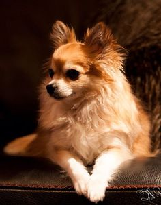 Effective Potty Training Chihuahua Consistency Is Key Ideas. Brilliant Potty Training Chihuahua Consistency Is Key Ideas. Long Haired Chihuahua, Chihuahua Puppies, Dogs And Puppies, Doggies, I Love Dogs, Cute Dogs, Mundo Animal, Dog Pictures, Dog Photos