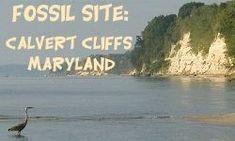 Calvert Cliffs: Vertebrate Fossil Found in Maryland and Virginia - Chesapeake Bay Area (Marine mammals, reptiles, bony fish)