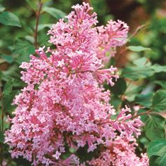 Create a hedge with Josee Reblooming Lilac from Spring Hill