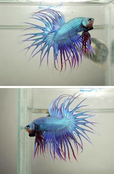 Green and purple crowntail