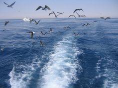 Египетские чайки: irinadob550