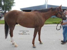 Sirtori, 2009, 16.1 Chestnut Gelding | Finger Lakes Finest Thoroughbreds