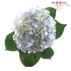 Large Hydrangea Blue; 1 to 4 stems	 $4.90 per stem; 4 = $19.60 5 to 29 stems	 $4.37 per stem; 5 = $21.85 $12 for shipping