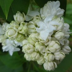 Syringa Vulgaris, Floral Photography, My Secret Garden, Lilacs, Shabby, Roses, Plants, Beautiful, Beauty