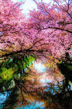 Atraversso:      The season of cherry blossoms - By Hiro Kei