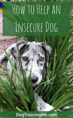 Do you have an insecure dog? Find out the signs of an insecure dog and what can cause it. We give you some advice on how to help your dog feel more secure and how to train an insecure dog. Plus a list of shy dog breeds. Read our article now. via @KaufmannsPuppy
