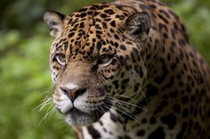 Endangered Animals in Brazil:   Onça-pintada (Panthera onca) -   The jaguar is the biggest feline the Americas.