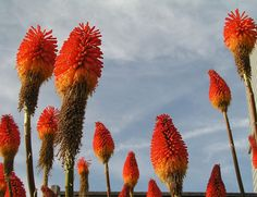 Red Hot Poker Plants, also known as Torch Lilies, are drought tolerant and very popular in the southwestern USA.