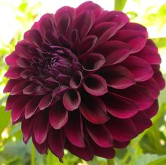 "Dahlia 'Deep Space' - Deep plum in colour and full bodied this variety is sure to standout. Long lasting cut flower. Blooms measure 5"" across. Height 4'."