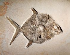 MOONFISH FOSSIL Gyrodus circularis Jurassic Solnhofen Formation, Eichstätt, Bavaria, Germany This remarkable specimen of the fossil relative of today's parrot fish is amongst the finest specimens to have been unearthed from the remarkable limestone deposits of the Solnhofen area.