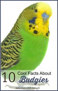Cool things about budgies. Budgies, often called parakeets, are great pets - beautiful and cheerful, some can even talk! Find out some cool facts about these pretty little birdies.