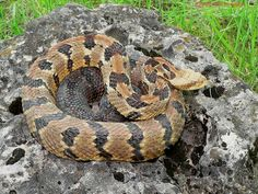 Iowa Timber Rattlesnake