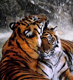 tiger as spirit animal - associated with moon magic and courage to pursue a definitive purpose Beautiful Cats, Animals Beautiful, Beautiful Moments, Big Cats, Cats And Kittens, Tiger Spirit Animal, Animals And Pets, Cute Animals, Wild Animals
