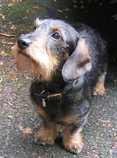 Wire-haired dachshund, looks just like my ruger ;) #Dachshund