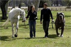 Horse or Dog ?  The dog is Neapolitan Mastiff