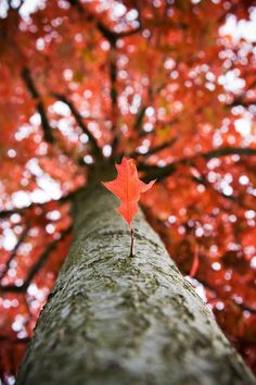 Autumn tree: I like the angle of this shot because it enhances the trees large size. Additionally I like the shallow depth of field, focussing the lower leaf yet enhancing its colour with the out of focus background. Shallow depth of field Depth Of Field Photography, Autumn Photography, Photography Photos, Creative Photography, Amazing Photography, Perspective Photography, Colour Photography, Pretty Pictures, Cool Photos