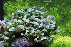 Picture of our beautiful Bucephalandra Black Pearl submerged.